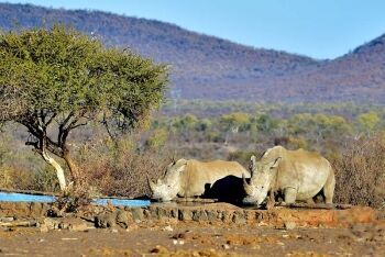 White rhino, Madikwe Game Reserve, North West