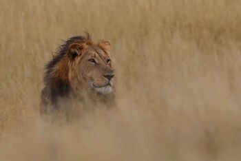 Southern African lion (Panthera leo melanochaita), North West