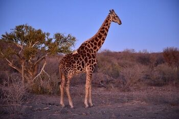 Giraffe, Madikwe Game Reserve, North West