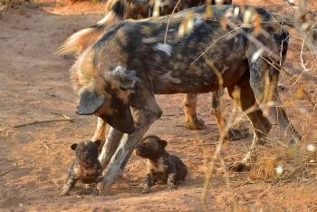 African wild dogs, Madikwe Game Reserve, North West
