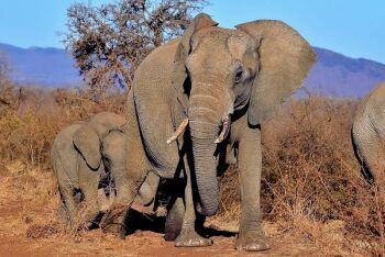 African bush elephants, Madikwe Game Reserve, North West